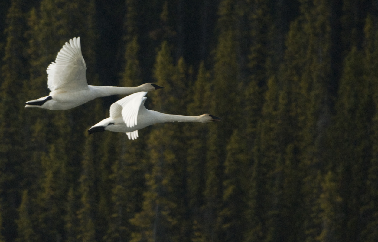 2 swans flying in front of spruce trees.