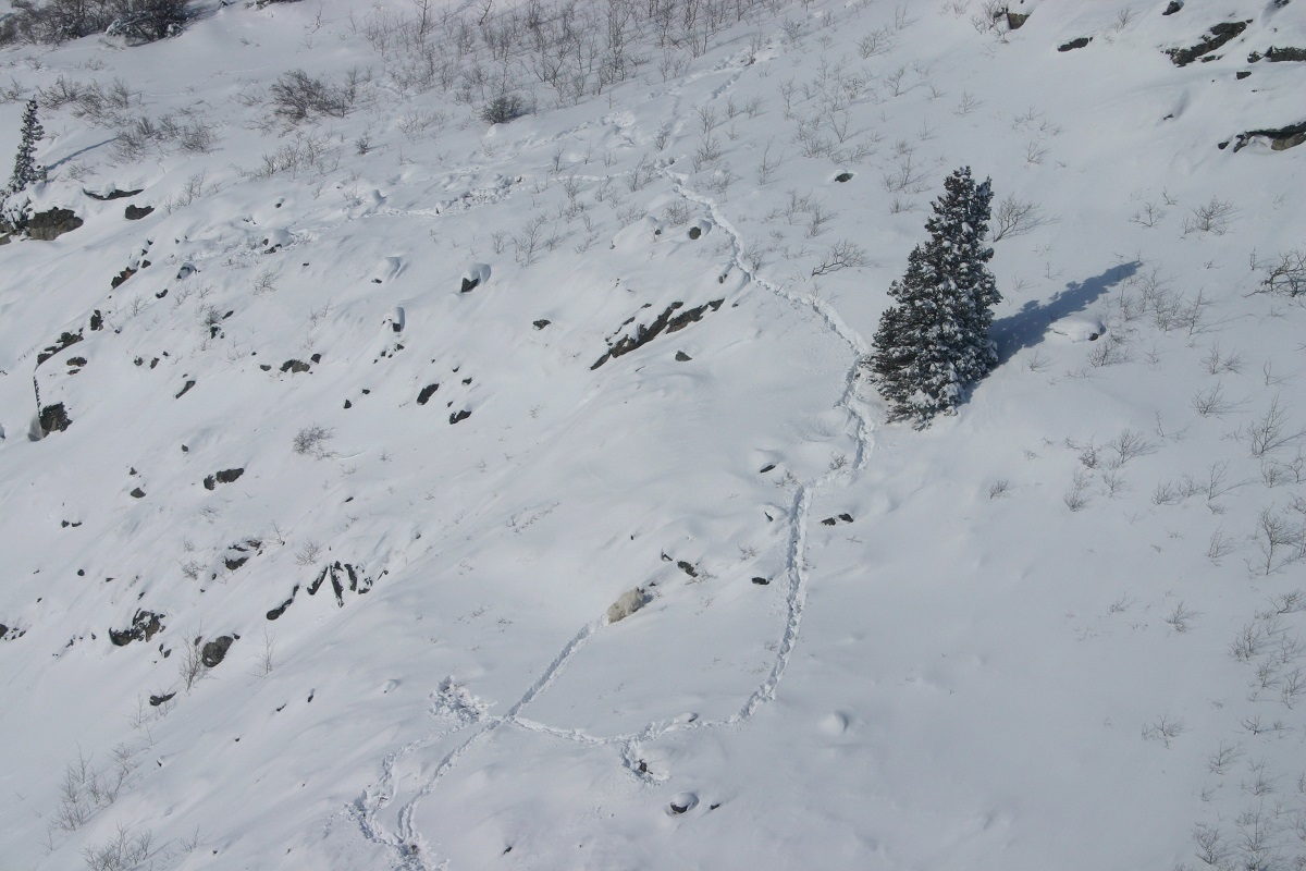 Goat tracks.