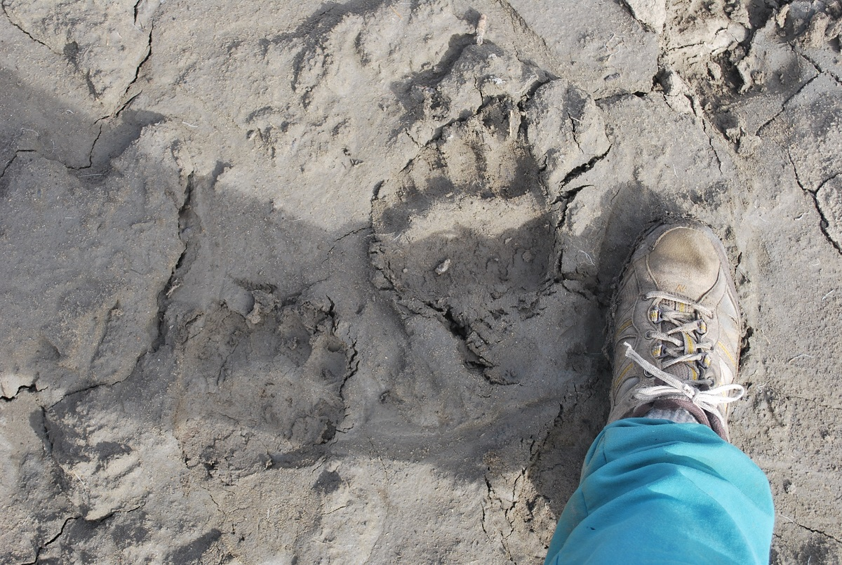 Grizzly bear tracks.