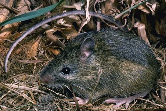 Meadow Jumping Mouse.