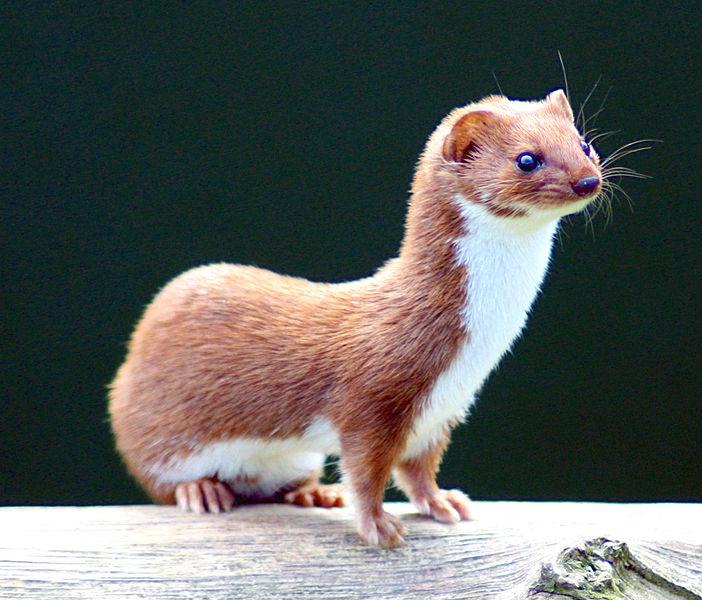 Least Weasel.