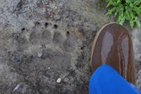 Polar Bear track in mud.