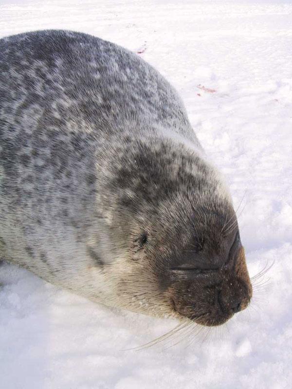 Ringed Seal.