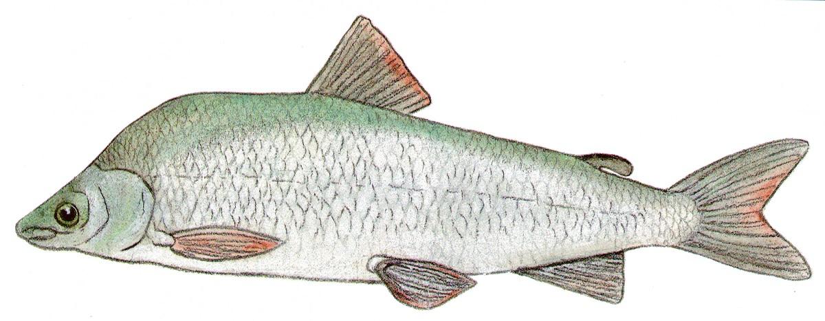 Round Whitefish.