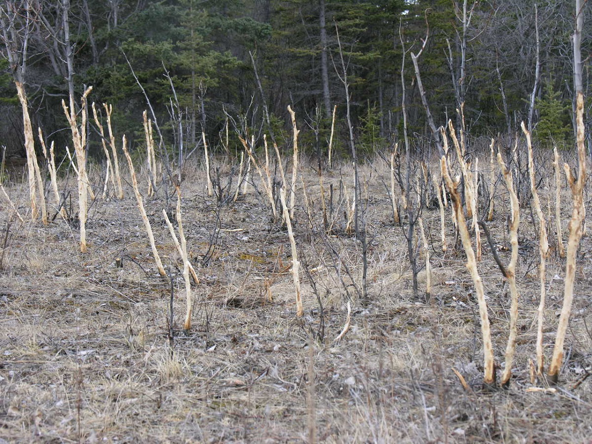 Photograph of trees with bark stripped by Snowshoe Hares.