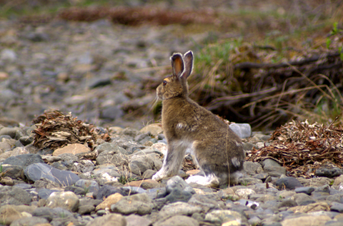 Snowshoe Hare.