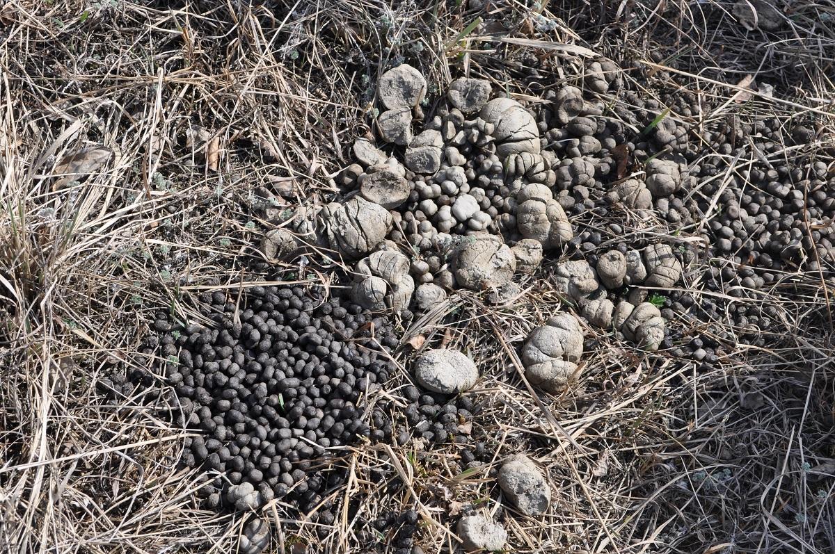 Fèces de mouflon de Stone : 0,8 cm de longueur