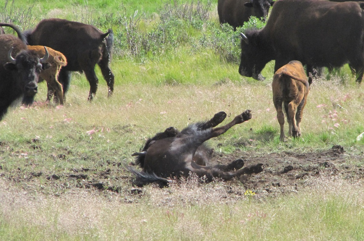 Photograph of a Wood Bison wallowing in a pit.