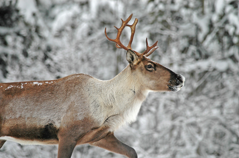 Woodland Caribou.