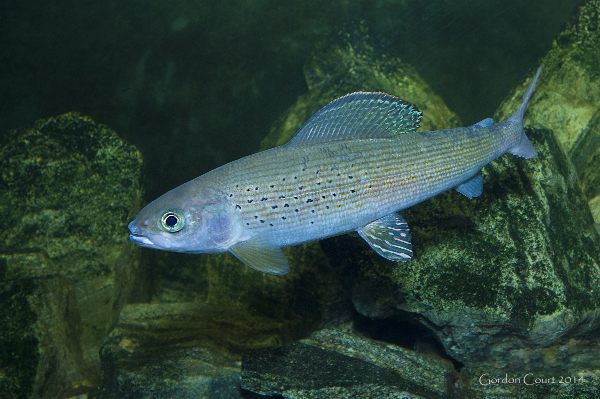 Arctic Grayling.