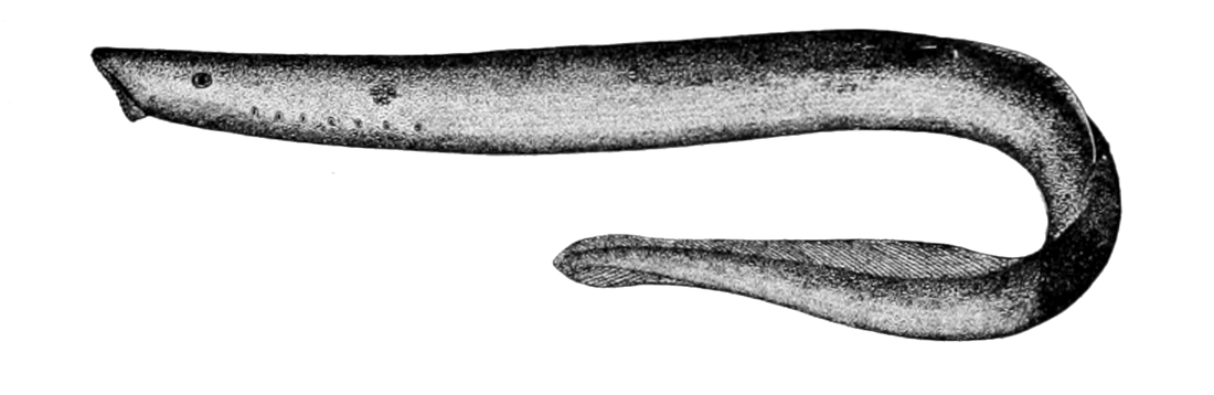 Arctic lamprey.