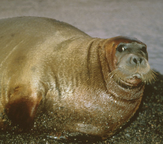 Bearded Seal.