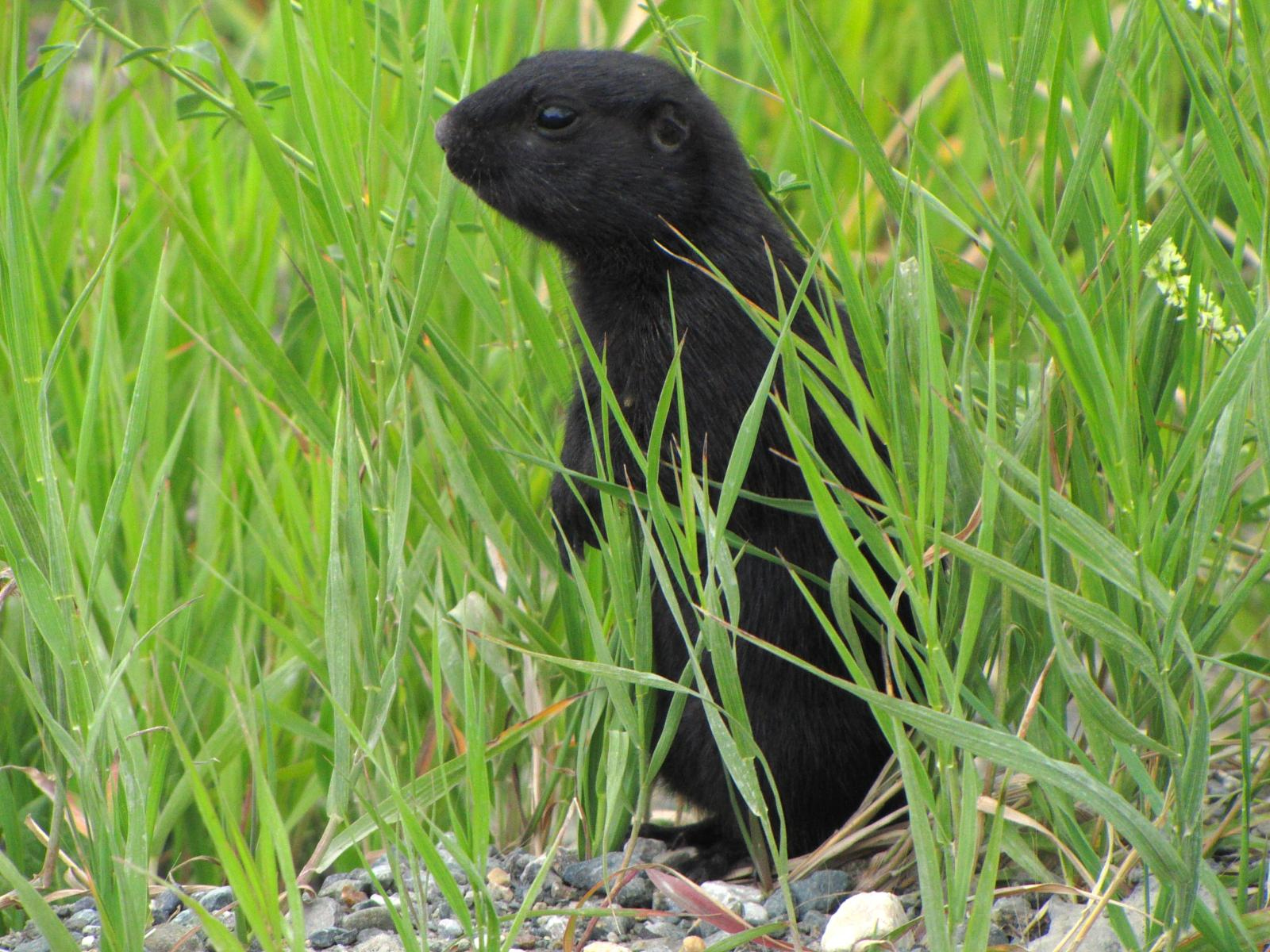Black Arctic Ground Squirrel.