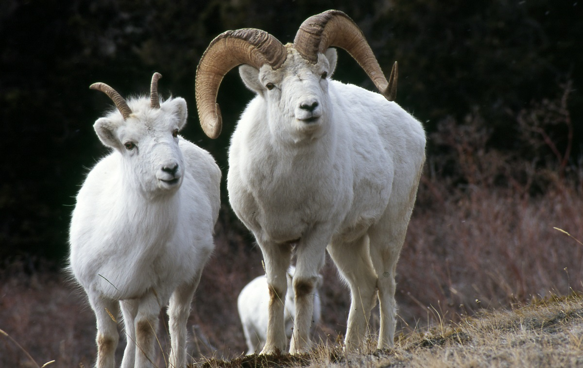 Dall's Sheep.