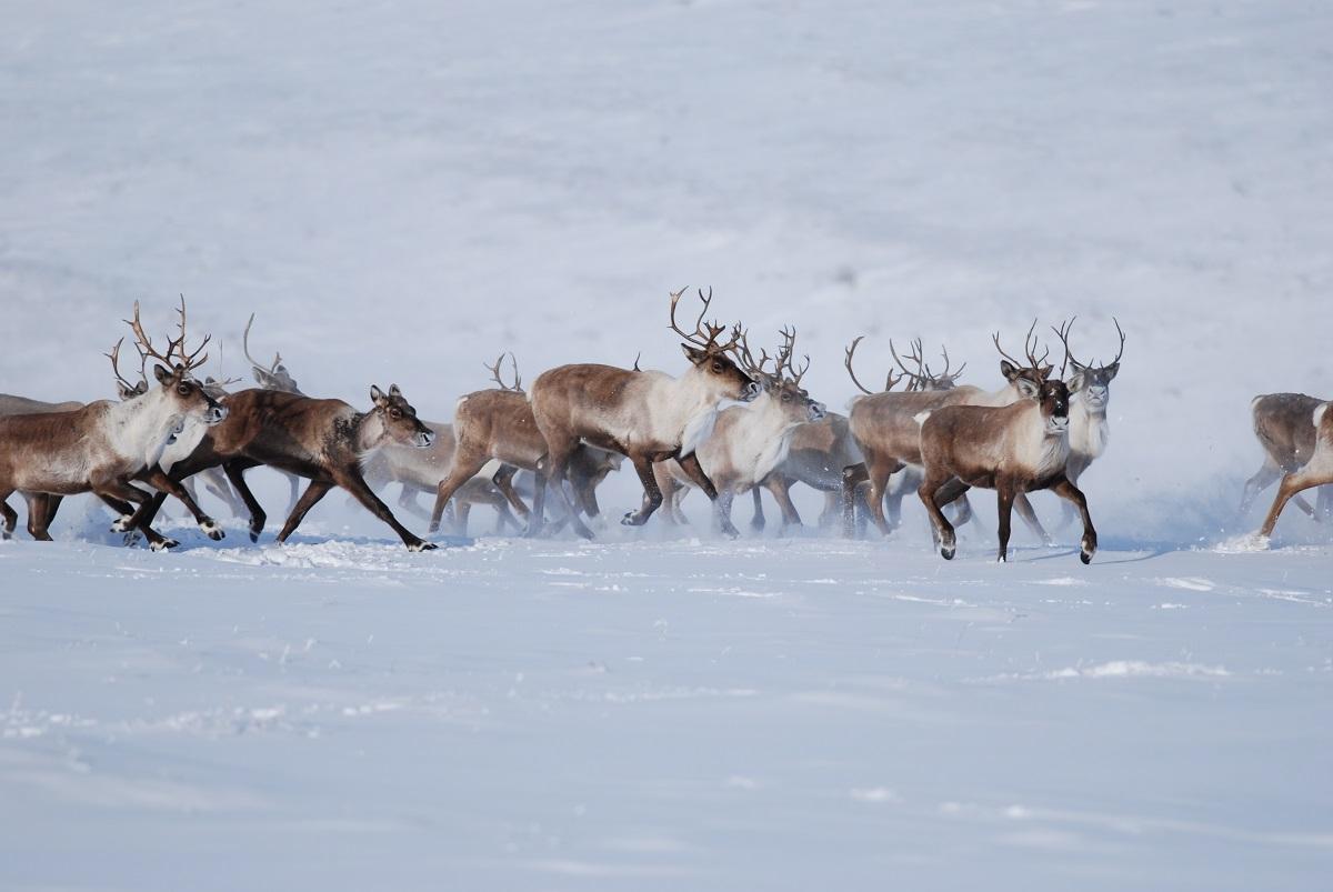 Hart River caribou herd - Barren-ground caribou.