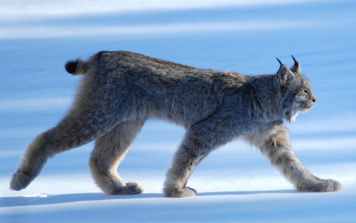 Canada Lynx.