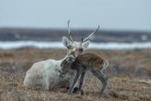 Porcupine caribou