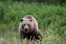 Grizzly bear in green space