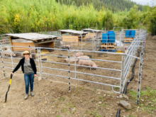 Megan Waterman of Dawson's Lastraw Ranch at her seasonal lease in Bear Creek in the Klondike. Lastraw raised hogs for local consumption on a placer mining lease in the summer of 2020, and plans to raise more in the 2021 season.